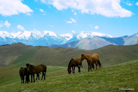 Wie geschaffen scheinen diese Pferde für diese Region und das raue Klima.