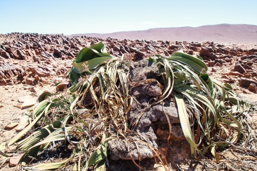 Welwitschia mirabilis